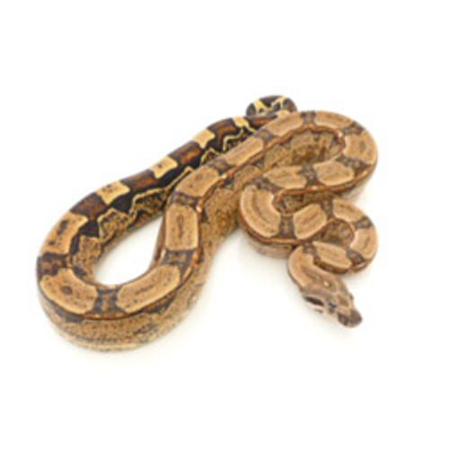 Arabesque Boa (Boa constrictor)