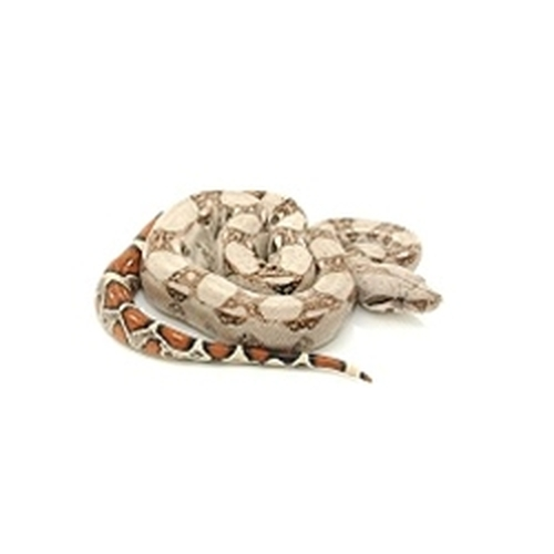 Colombian Red Tail Boa (Boa constrictor) only males