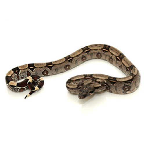 Guyana Redtail Boa (Boa constrictor)