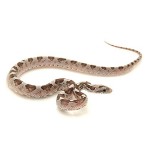 Black Bloodred Corn Snake (Pantherophis guttata)