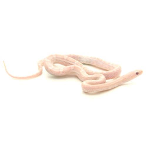 Amber Lavender Corn Snake (Pantherophis guttata)