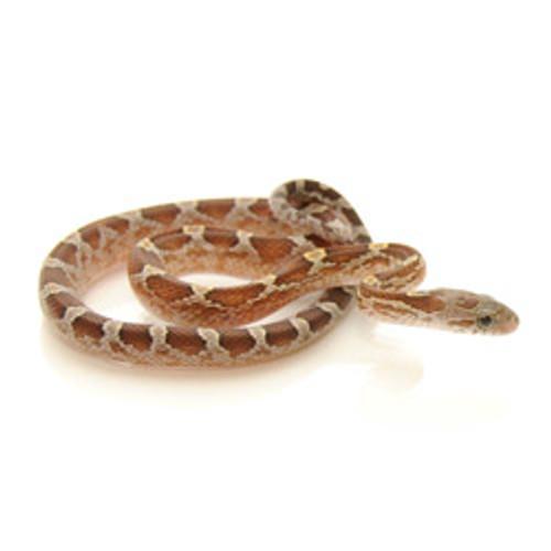 Caramel Blood Red Corn Snake (Pantherophis guttata)