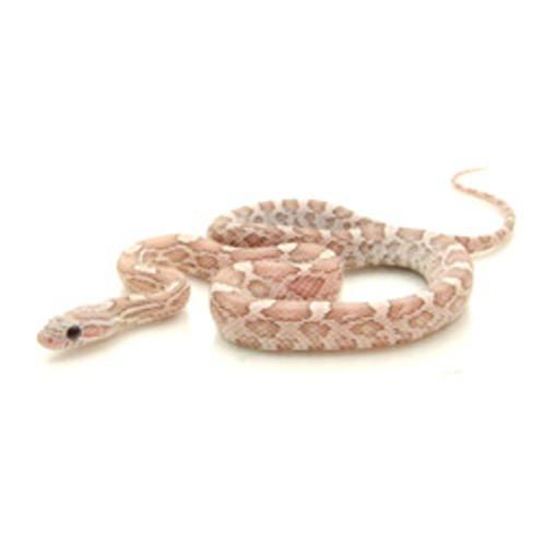 Lavender Caramel Corn Snake (Pantherophis guttata)