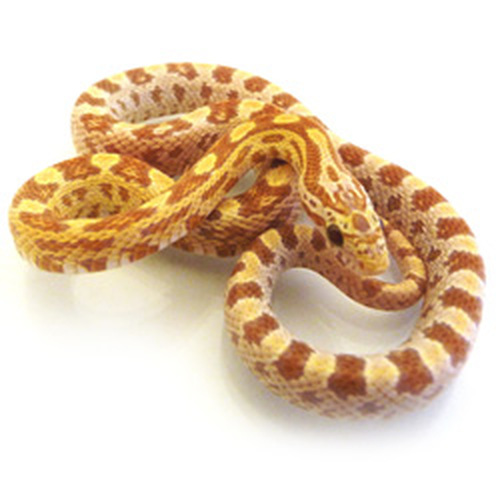 Hypo Gold Dust Corn Snake (Pantherophis guttata)