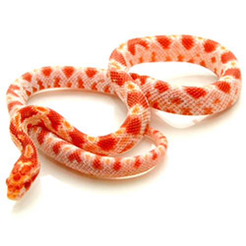 Corn Snakes for sale from Reptmart