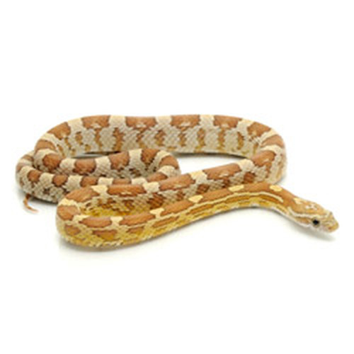Amber Corn Snake (Pantherophis guttata)