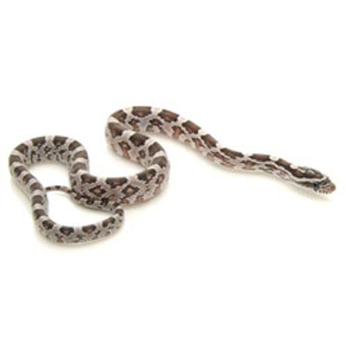 Black Corn Snake (Pantherophis guttata)