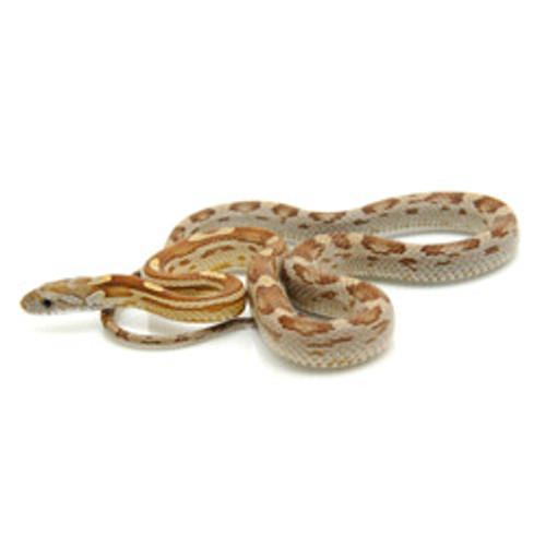 Caramel Motley Corn Snake (Pantherophis guttata)