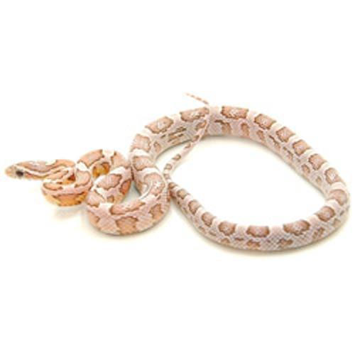 Ghost Corn Snake (Pantherophis guttata)