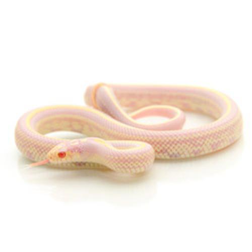 Albino Striped California King Snake (Lampropeltis getula)
