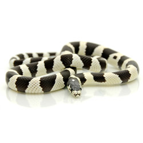 Black & White Banded California King Snake (Lampropeltis getula)