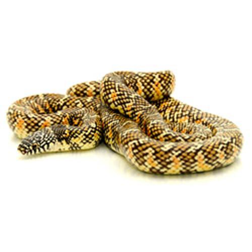 Brooksi King Snake (Lampropeltis getula)