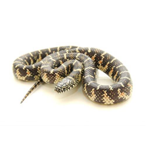Florida King Snake (Lampropeltis getula)