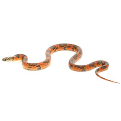 Goini King Snake (Lampropeltis getula)