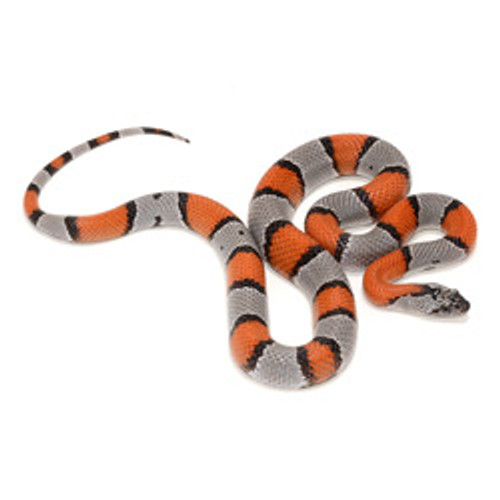 Gray Banded King Snake (Lampropeltis alterna)