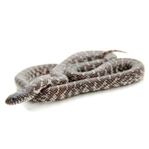 Black & white Brook's King Snake (Lampropeltis getula)