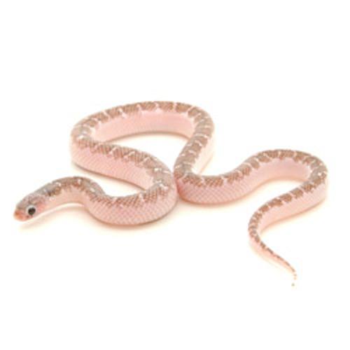 Anery White-Sided Brook's King Snake (Lampropeltis getula)