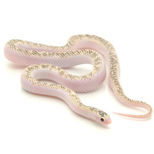 KING SNAKES Lavender California King Snake from ReptMart com