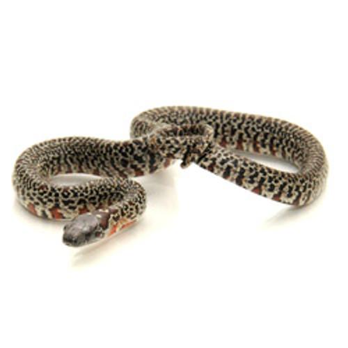 KING SNAKES Mex Mex King Snake from ReptMart com