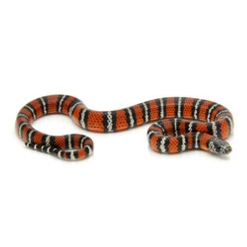 Andean Milk Snake