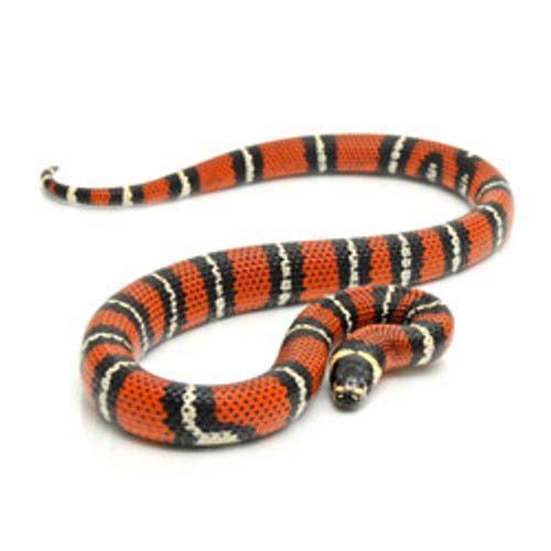 Snakes for sale - Milk Snakes for sale - Page 1 - Reptmart com