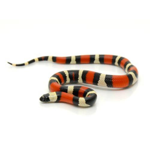 Pueblan Milk Snake (Lampropletis triangulum)