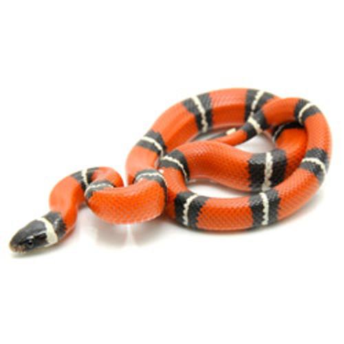 Sinaloan Milk Snake (Lampropletis triangulum)