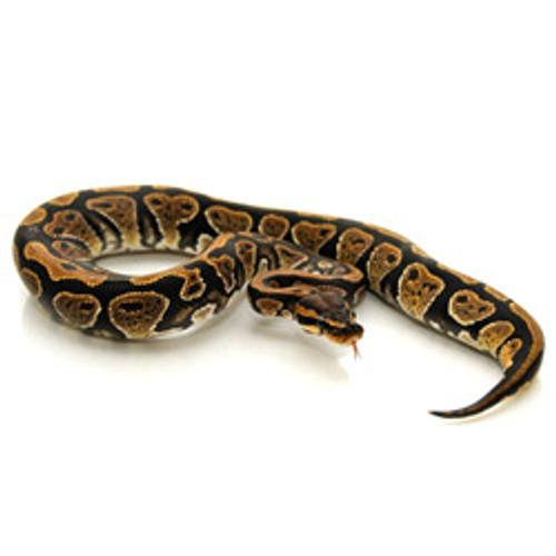 Ball Python (Juvenile)