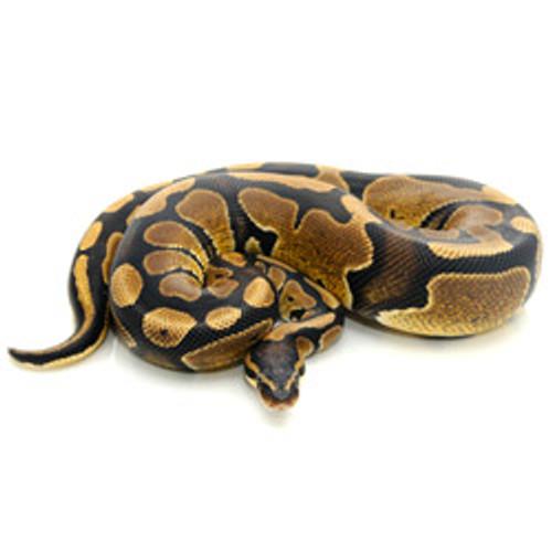 Ball Python (Adult)