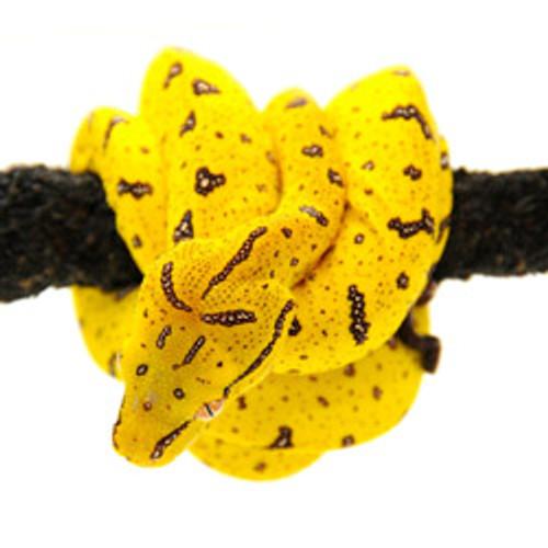 Chondropython / Aru Green Tree Python (Morelia viridis)