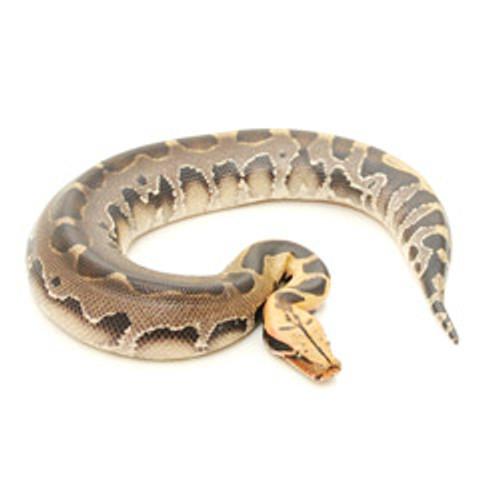 Borneo Blood Python (Python breitensteini)