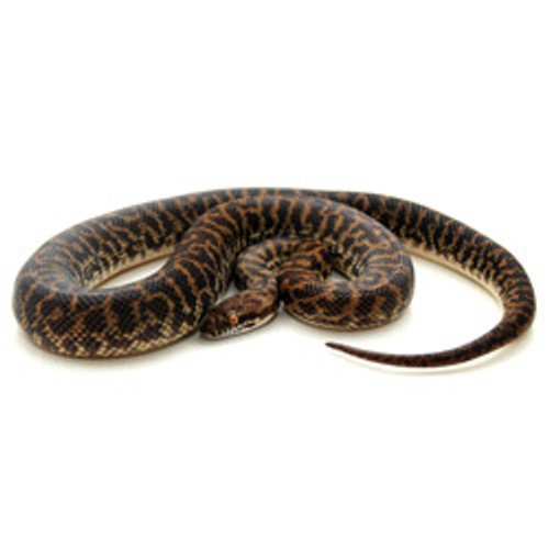 Spotted Python's (Antaresia maculosa)