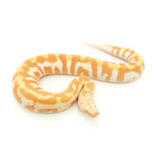 Albino T Negative Blood Python (Python brongersmani)