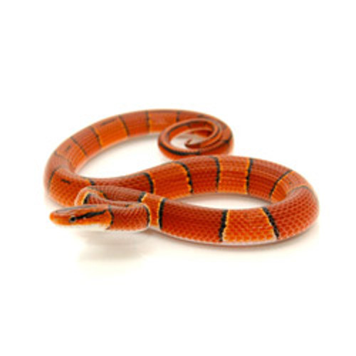 Bamboo Rat Snake (Broad Banded Mountain)