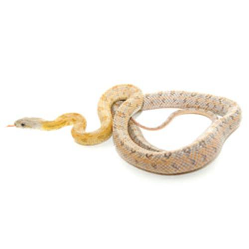 Bairds Rat Snake ( Elaphe bairdi)