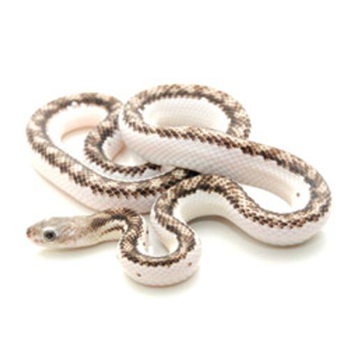 Licorice Rat Snake  (Elaphe obsoleta)