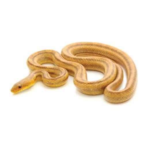 Yellow Rat Snake (Pantherophis alleghaniensis)