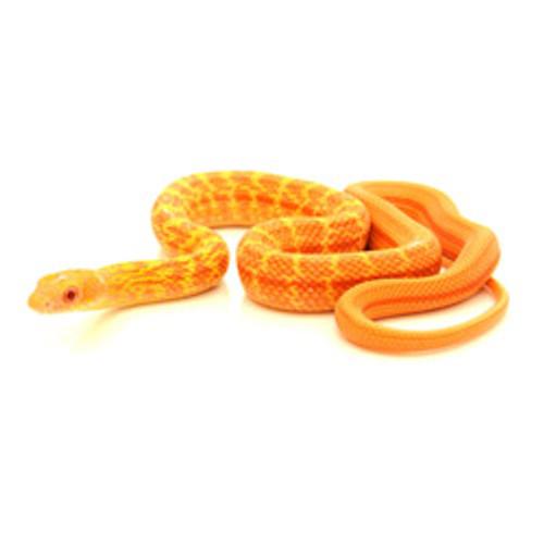 Albino King Rat Snake (Elaphe carinata)