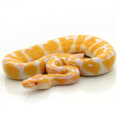 Albino Ball Python (Python regius)