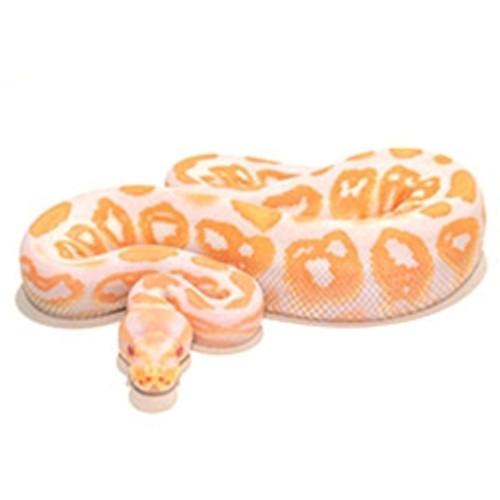 Albino Black Pastel Ball Python (Python regius)