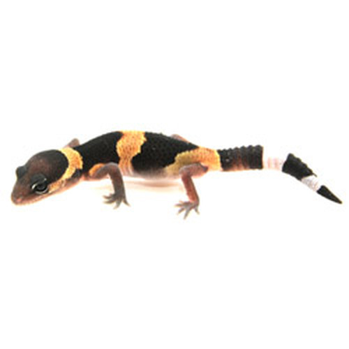 African Fat Tail Gecko (Hemitheconyx caudicinctus)  Banded Baby