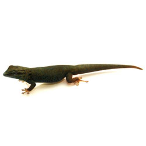Blue Gecko (Lygodactylus williamsi)