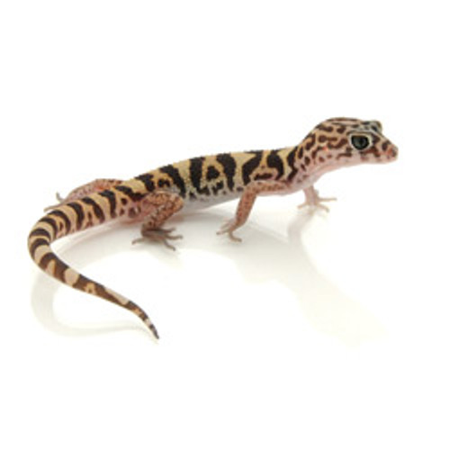 Yucatan Banded Gecko