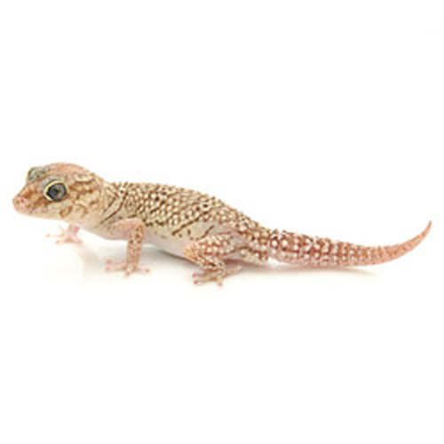 Xanthic Banded Panther Gecko (Pareodura pictus) Adult