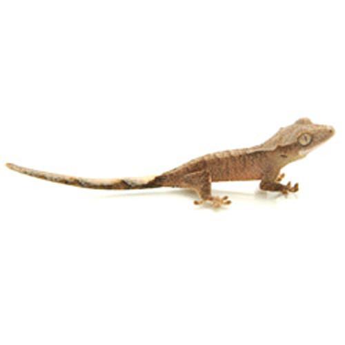 Crested Gecko (Rhacodactylus cilliatus) Baby