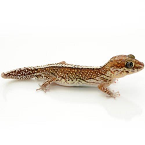 Striped Panther Gecko (Adult) (Pareodura pictus)