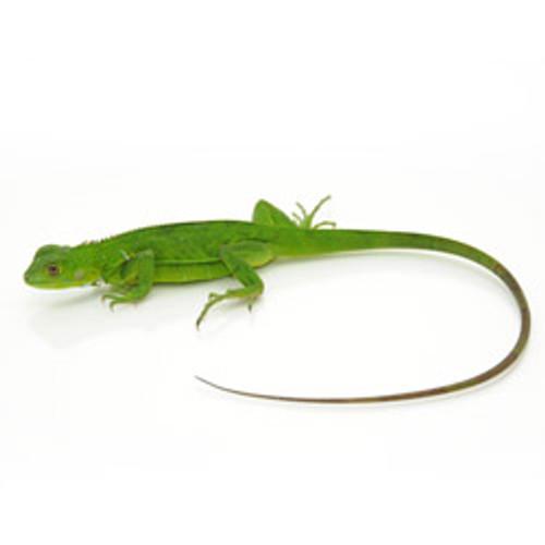Green Iguana's (Iguana iguana) Baby
