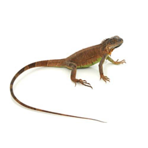 Red Iguana (Iguana iguana ) Baby