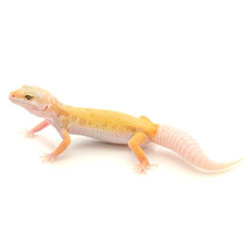Albino Leucistic Leopard Gecko (Eublepharis macularius) Juvenile