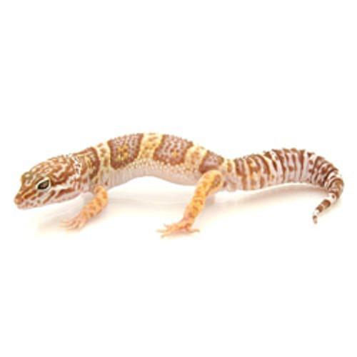 Tremper Albino Leopard Gecko (Eublepharis macularius) Juvenile